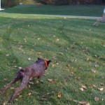 Dog running in the yard
