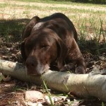 Reilly (Dog) with head on log